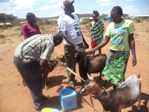 Ministry of Livestock official vaccinates the dairy goats during the distribution in Kirimon.